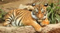 Tiger Stare (full HD) video