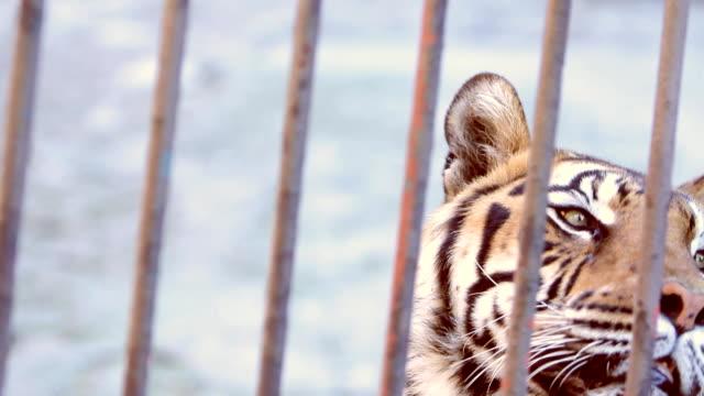 Tiger (HD) video