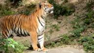 Tiger. video