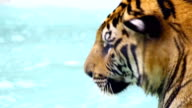 Tiger with blue sea water video