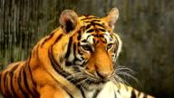 Tiger Yawning video