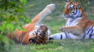 Tigers fight game play video