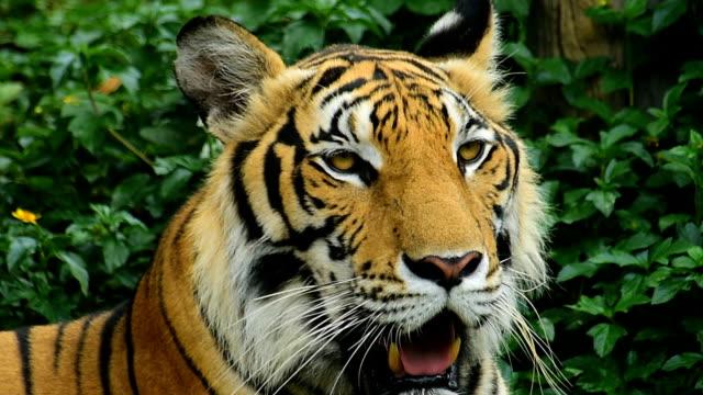 Tigers video