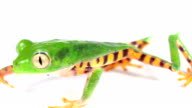 Tiger-striped Leaf Frog (Phyllomedusa tomopterna) video