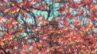 Tight shot of a pink dogwood tree video
