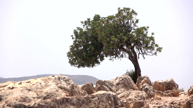 Tight Shot of Lonely Tree on Top of Mount Arbel video