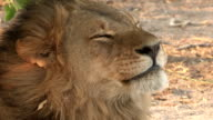 Tight shot of male lion yawning video