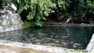 Tilapia in a pool video