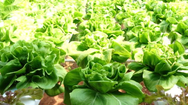 Tilt shot butter head lettuce in hydroponic farm video