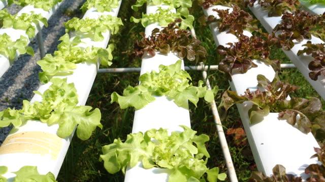 Tilt shot green and red oak in hydroponic farm video