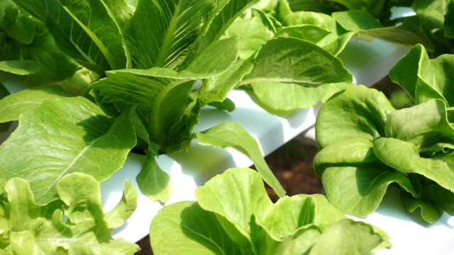 Tilt shot hydroponic vegetable in agriculture farm video