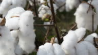 Tilt up view of cotton plant video