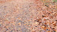 Tilt Up,Autumn forest view,Northern Ireland video