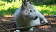timberwolf video