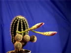 Time Laps of cactus flower on blue background video