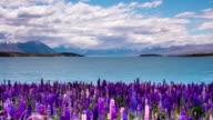 Time Lapse - Beautiful Lupine Flowers by Lake Tekapo, New Zealand video