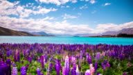 Time Lapse - Beautiful Lupine Flowers by the Lake video