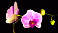 Time Lapse - Blooming Flower of Pink Phalaenopsis Orchid video