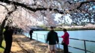 4K Time Lapse : cherry blossom festival video