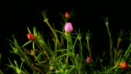 Time lapse flowers,Common Purslane video