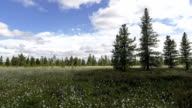 Time Lapse moving clouds and cotton grass on a Siberian swamps video