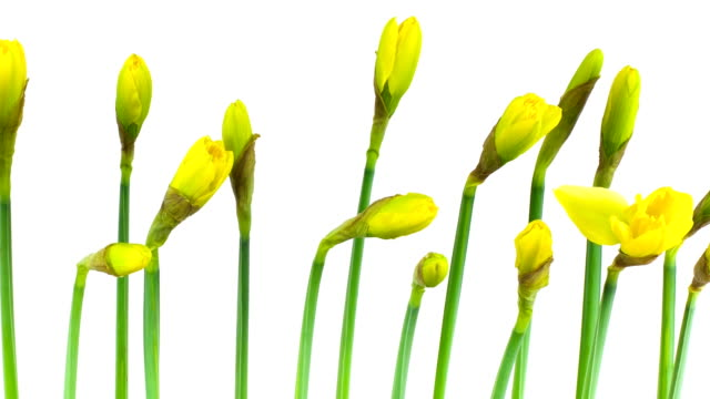 Time Lapse: Narcissus video