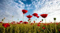 time lapse of beautiful red poppies close-up , clouds and sky video
