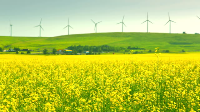 Time lapse of canola field and windmills video