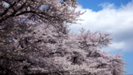Time lapse of Cherry blossoms in Japan video