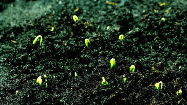 Time lapse of Germinating video