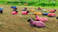 Time Lapse of multicoloured sheep in field video