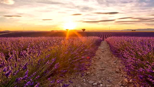 Time lapse of sunset over a field of lavender and two trees video