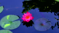 time lapse of water lily on the lake video