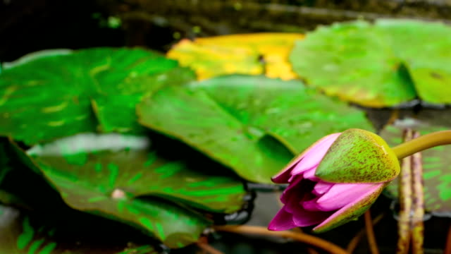 Time lapse opening of water lily flower.Lotus flower video