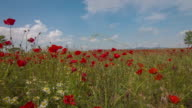 Time Lapse Sunny Day in Poppy Field video