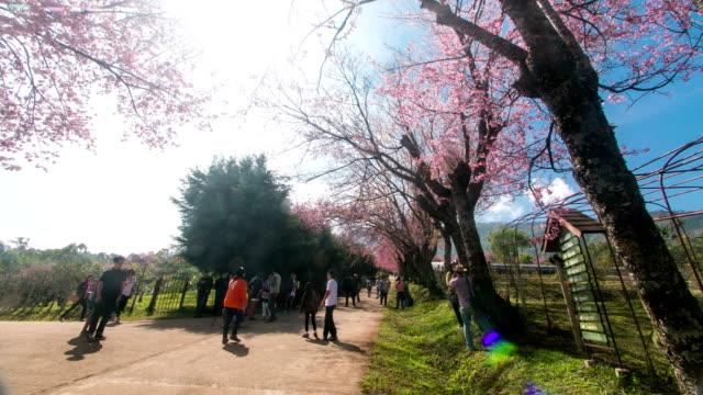 Time lapse: tourist walk on the road with spring Sakura video