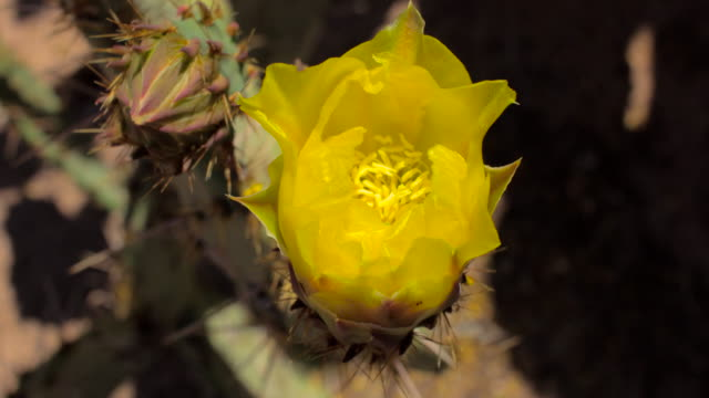 4K Time Lapse Yellow Prickly Pear Cactus Flower Opening video