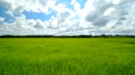 Timelapes of rice field and clouds sky. video
