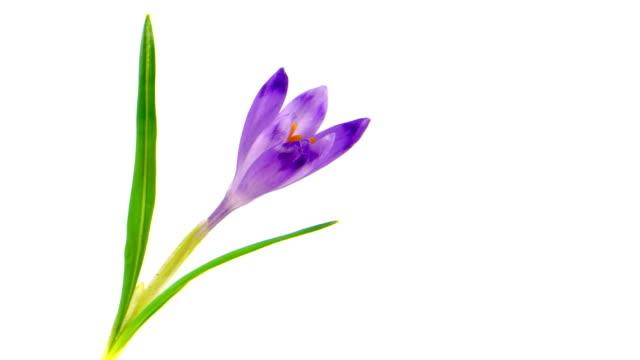 Timelapse blooming crocus. video