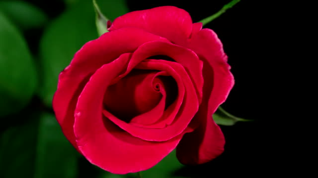 HD Time-lapse : Blooming Red Rose video