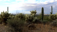 Timelapse Cholla Cactus in Tucson Mountain Park video