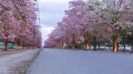 4K Time-lapse : dawn to day beautiful pink trumpet tree road. video