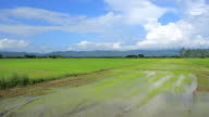 4K timelapse, Green rice paddy and blue sky in day time. video