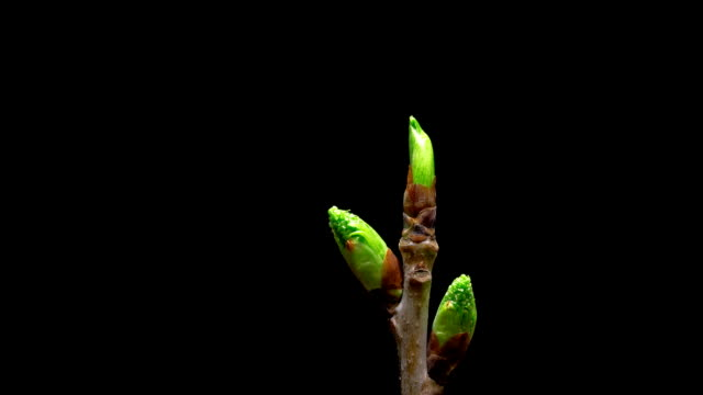 Time-lapse macro leaf bud growing - isolated on black background video