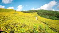 HD Time-lapse: Maxican Sunflower Field at Mae Hong Son Thailand video