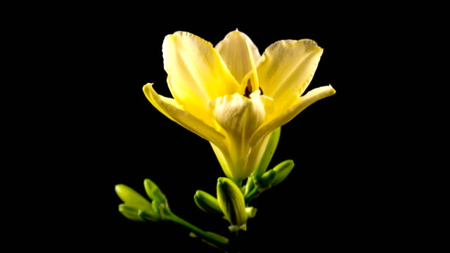Timelapse of a yellow daylily flower blooming and fading on black background video