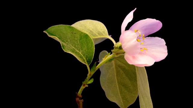 HD timelapse of an Quince tree flower growing of a black background. Blooming flower on chroma key background, cut out background video