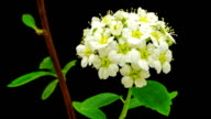 HD timelapse of an Thornapple tree flower growing of a black background. Blooming flower of Crataegus. video