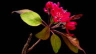 HD timelapse of an Wild apple tree flower growing of a black background. Blooming flower on chroma key background, cut out background video
