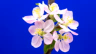 HD timelapse of an Wild apple tree flower growing of a blue background. Blooming flower on chroma key background, cut out background video